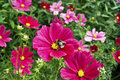Pink cosmos flowers in a herbaceous border of an english garden Royalty Free Stock Photo