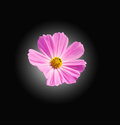 Pink Cosmos flowers isoleted Royalty Free Stock Photo