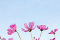 Pink cosmos flowers on sky background beautiful Stock Photography