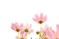 Pink cosmos flowers on white background Royalty Free Stock Photo