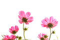 Pink cosmos on isolated background sulphureus with translucent at petal white Stock Image