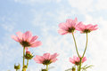 Pink cosmos sulphureus with translucent at petal and cloudy blue sky Stock Photography