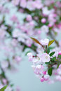 Pink crab apple blossoms on white background Royalty Free Stock Image
