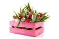 Pink crate with tulips Stock Images