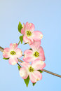 Pink and cream dogwood bracts and green blooms branch with cluster of flowers of tree on sky blue background Stock Image