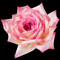 Pink and cream rose on black bright close up isolated with directional light Stock Photography