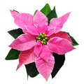Pink cristmass flower Royalty Free Stock Photos