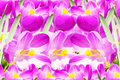 Pink crocus spring flower texture background for web design banner and other art work Stock Photo