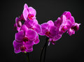 Pink cultivated orchid on dark background flowers Royalty Free Stock Images