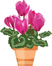 Pink cyclamen in a flower pot Royalty Free Stock Photo