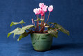 Pink cyclamen flowers in the pot on dark blue background Royalty Free Stock Images