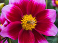 Pink dahlia with a bee Royalty Free Stock Photo