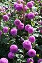 Pink dahlia bloom