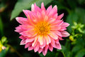 A pink dahlia bloom in a garden