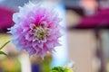 Pink dahlia flower Royalty Free Stock Photo