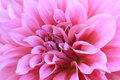 Pink dahlia flower close up background Stock Images