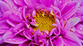 Pink dahlia flower close up detailed center view of a with dew drops on petals Royalty Free Stock Photos
