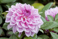 Pink dahlia flowers Royalty Free Stock Photography