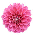 Pink dahlia isolated Royalty Free Stock Photo