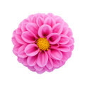 Pink dahlia isolated on white background Royalty Free Stock Photo