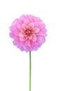 Pink dahlia isolated on white background Royalty Free Stock Photo