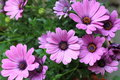 Pink daisies Royalty Free Stock Photo