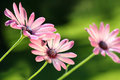 Pink daisies Royalty Free Stock Photo