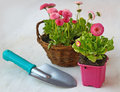 Pink daisies in a basket and garden shovel delicate on white table Stock Photo