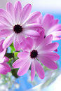 Pink daisies bouquet Royalty Free Stock Photos