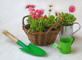 Pink daisy in a basket and green watering can and shovel delicate daisies garden on white table Stock Images