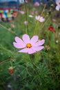 Pink daisy chamomile flowers field in park Stock Photos