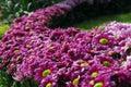 Pink daisy Flower bush garden Royalty Free Stock Photos