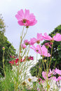 Pink daisy flowers in against blue sky background Royalty Free Stock Photo