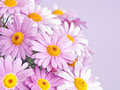 Pink daisy flowers beautiful daisies roses on white background Royalty Free Stock Images