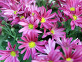 Pink daisy flowers closeup of in bloom Stock Images