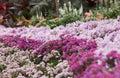 Pink daisy garden Stock Photo