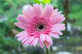 Pink daisy gerbera flowers Stock Photos