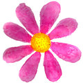 Pink daisy in watercolor