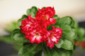 Pink Desert Rose or Impala Lily or Mock Azalea flower Royalty Free Stock Photo