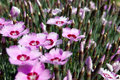 Pink dianthus bloom in the spring Royalty Free Stock Image