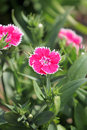 Pink Dianthus chinensis flower. Royalty Free Stock Photo