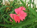 pink Dianthus Deltoides Royalty Free Stock Photo