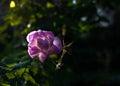 Pink dog rose Rosa Canina flowers Royalty Free Stock Photo