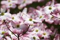 Pink dogwood blooms closeup of tree in north carolina Stock Photos
