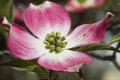 Pink Dogwood Blossoms - Cornus florida Rubra Royalty Free Stock Photo