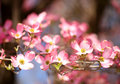 Pink Dogwood Blossoms.  Pink Flowers Royalty Free Stock Photo