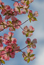 Pink dogwood bracts signaling the onset of springtime in northern virginia bask in the brilliant morning sunlight Royalty Free Stock Photos