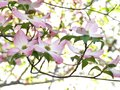 Pink dogwood flowers Royalty Free Stock Photo