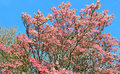 Pink Dogwood Tree in full Bloom Royalty Free Stock Photo