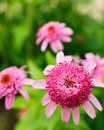 Pink double delight coneflower three heads in a flower garden Royalty Free Stock Photo